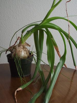 Pregnant Onion Plants 6